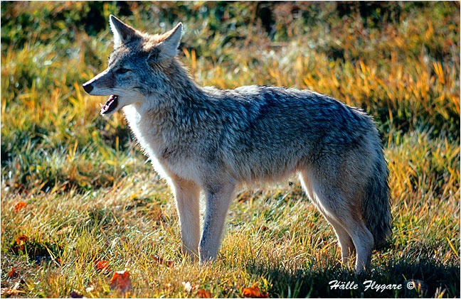 coyotes guide connecting with nature