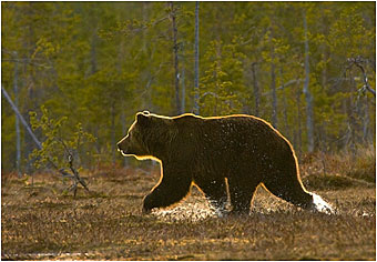 Finland Brown Bear by Halle Flygare ©