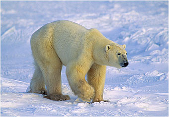 Hudson Bay Polar Bear by Halle Flygare