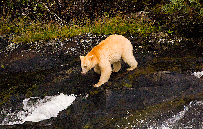 Princess Royal Island Kermode Bear by Halle Flygare ©